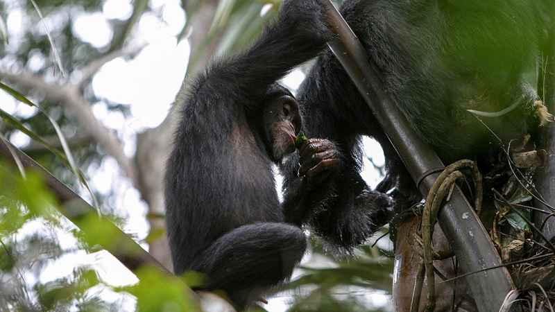 Scimpanzé intenti a bere succo di palma fermentato usando foglie masticate