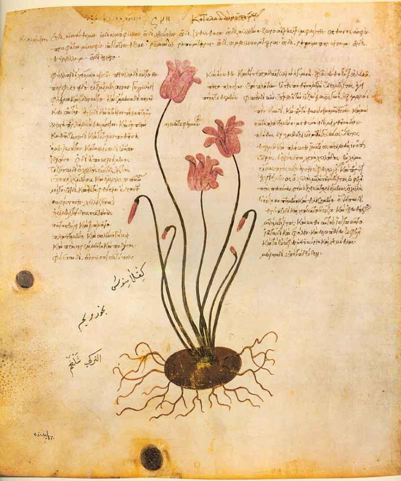 La raffigurazione di un ciclamino in una delle copie illustrate del De Materia Medica di Dioscoride Pedanio (Juliana Anicia Codex)