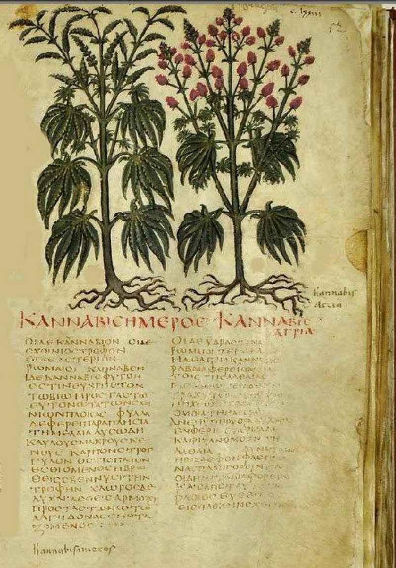 La raffigurazione di una pianta di cannabis in una delle copie illustrate del De Materia Medica di Dioscoride Pedanio (Juliana Anicia Codex)