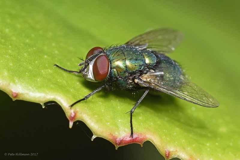 Mosca verde (Lucilia sericata). Pete Hillman