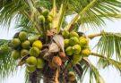 Palma e noce di cocco: il coltellino svizzero del regno vegetale