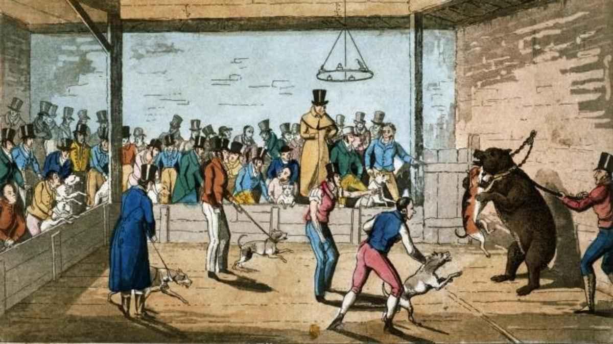 Bear baiting a Londra negli anni '20 del 1800 (Hulton-Deutsch Collection / Getty Images)