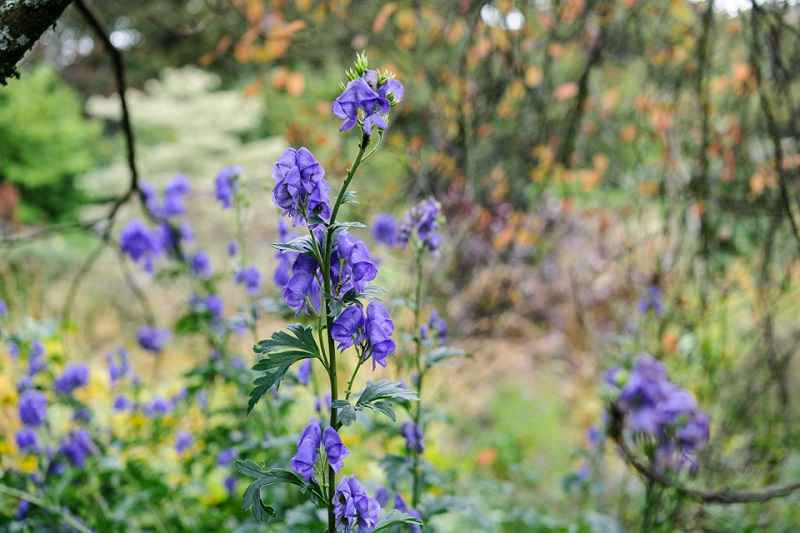 Aconitum napellus. Foto: Jason Ingram